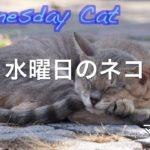 野良猫の知恵 木の根元に溜まった水を飲む 水曜日のネコ