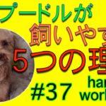 トイプードルが飼いやすい5つの理由!トイプー役立ち情報!はるくんToyPoodle♯37harus workers(ハルズワーカーズ)